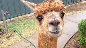 Chewpaca: Das ist das süßeste Haus-Alpaka auf Instagram!