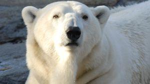 Eisbär Lars (†23) ist tot: Knuts Papa wurde eingeschläfert!