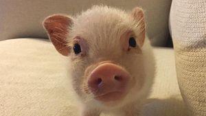 Megasüße Schweinerei: Ist Hank das coolste Ferkel der Welt?