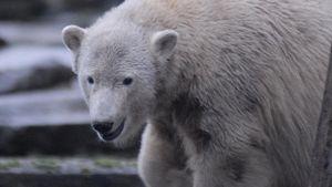 Eisbär Knut soll in Bronze gegossen werden