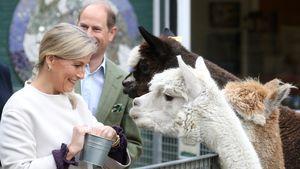 Zauberhaft: Prinz Edward und Ehefrau Sophie füttern Alpakas