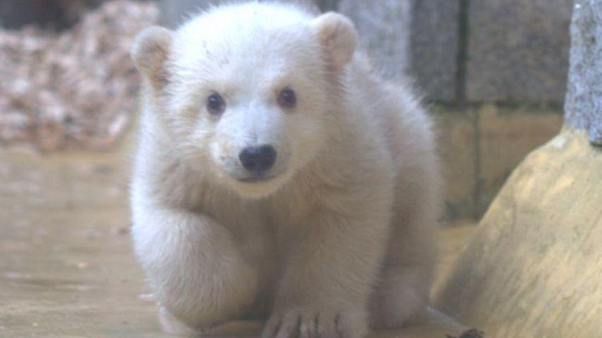 Hier macht Eisbär-Baby Anori ihren ersten Ausflug