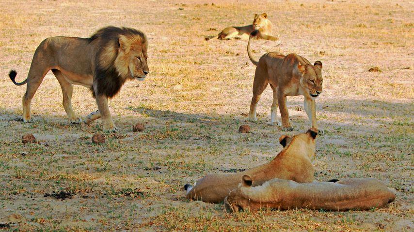 Falscher Alarm: Löwe-Cecils Bruder lebt doch noch!