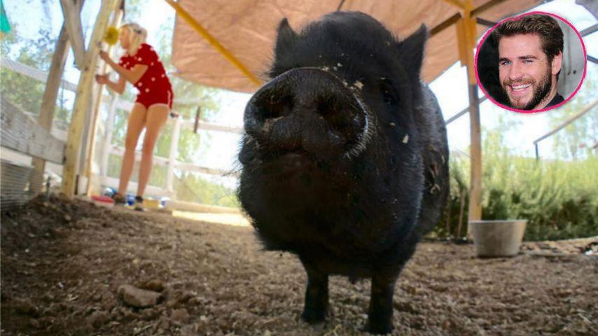 Glücklich mit Schwein: Miley Cyrus & Liam gärtnern zusammen!