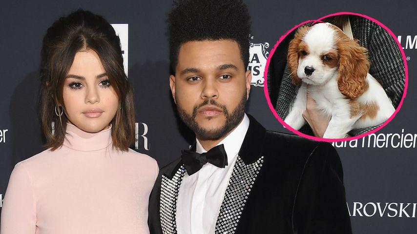 Selena Gomez & Ex The Weeknd: Sorgerechtsstreit um Hund?