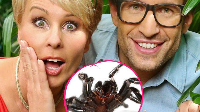 Lebensgefahr! Giftspinnen-Plage im Dschungelcamp