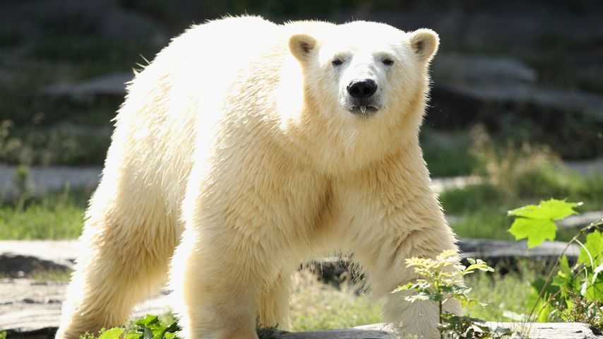 Eisbär Knut: Heute ist er schon vier Jahre tot