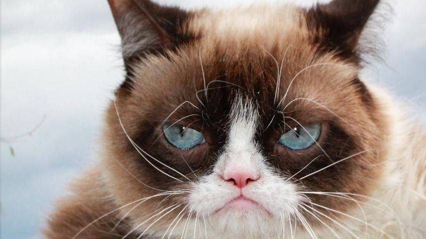 Grumpy Cat, Webstar