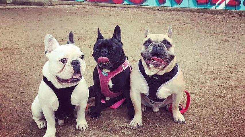 Gustave, Asia und Koji, Hunde von Lady Gaga