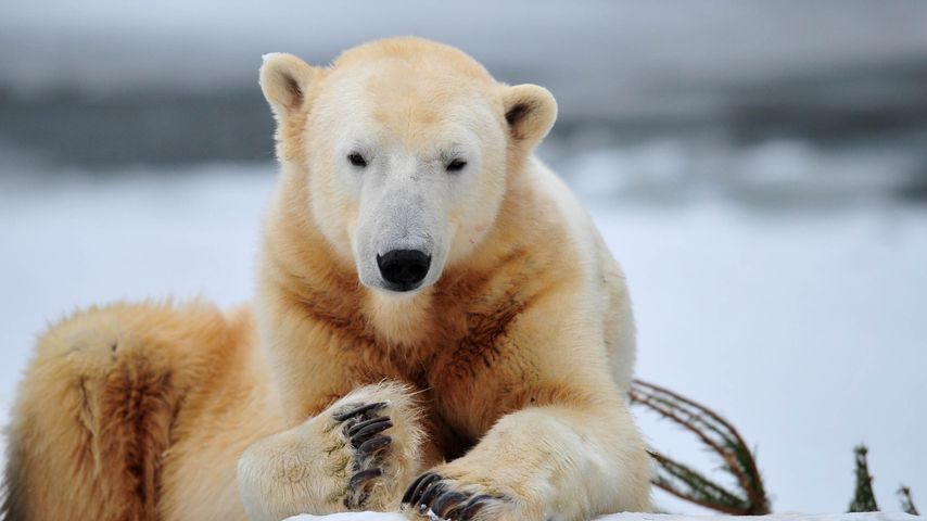 Eisbär Knut im Dezember 2010