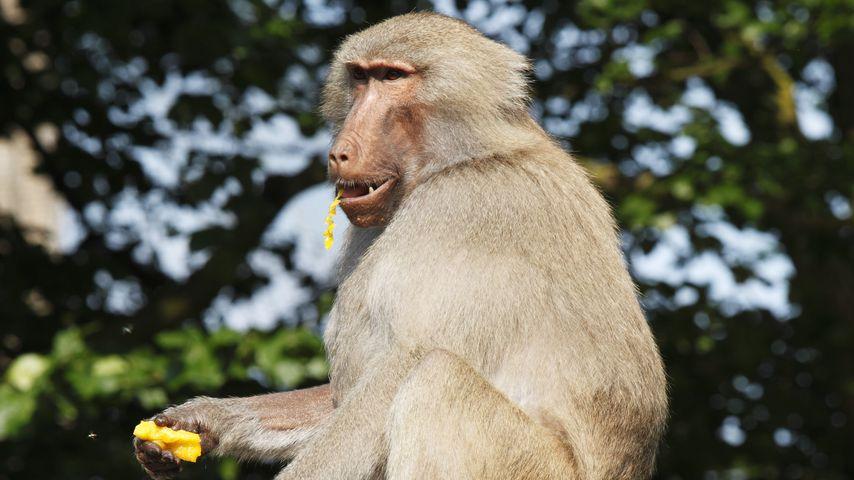 Krefelder Zoo-Tragödie: Tote Affen werden nicht beerdigt