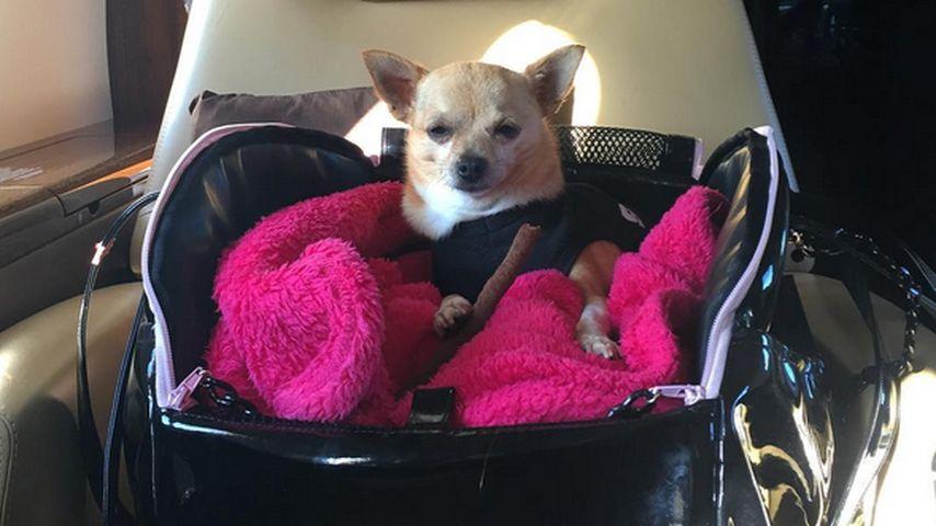 Paris Hiltons treuer Begleiter: Was für ein Hundeleben!