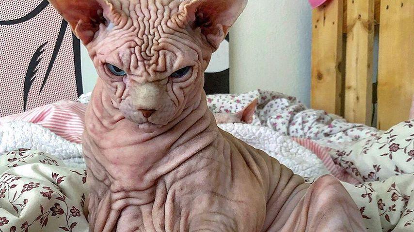 Tierisch gruselig: Falten-Nacktkatze wird zum Insta-Hype
